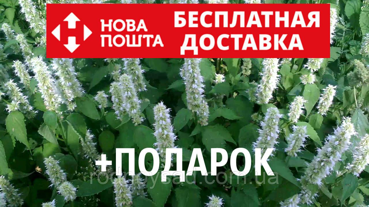 Лофант тибетский семена 10 шт корейская мята Agastache rugosa Многоколосник морщинистый насіння + инструкции