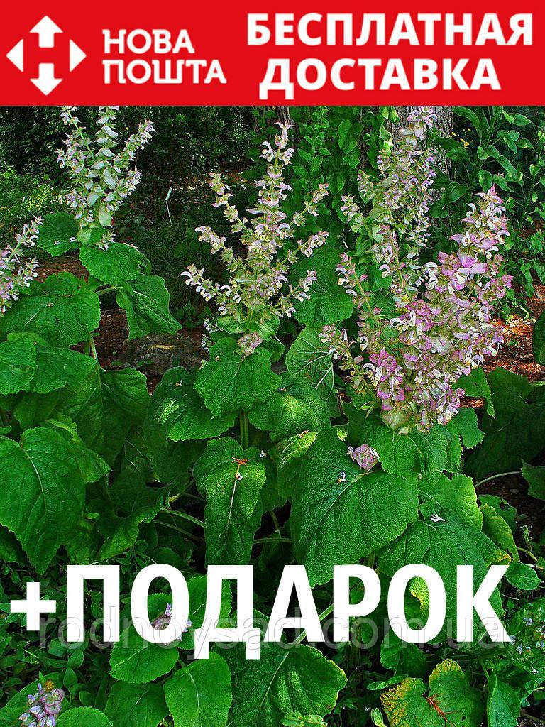 Шалфей мускатный семена 10 шт шавлія сальвия насіння (Salvia sclarea) + подарок + инструкции