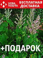 Шалфей мускатный семена 10 шт шавлія сальвия насіння (Salvia sclarea) + подарок + инструкции, фото 1