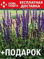 Шалфей дубравный семена 10 шт шавлія сальвия насіння (Salvia nemorosa) + подарок + инструкции, фото 1