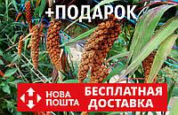 Чумиза семена (20 грамм, около 4000 шт) головчатое просо, чёрный рис, Setária itálica