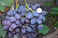 Виноград Бруно, фото 2