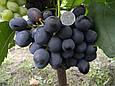 Виноград Бруно, фото 4