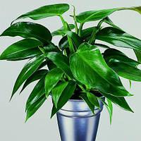 Филодендрон Тукстла, черенок, комнатное растение