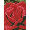 """Алмазная вышивка на холсте с подрамником, Цветы """"Душистая роза"""" 30*40 см"""