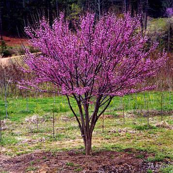 Церцис ( Иудово дерево)