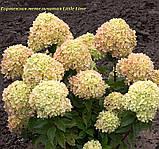 Гортензия метельчатая Little Lime®(Литл Лайм).  горш 2 лит, фото 8