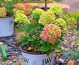 Гортензия метельчатая Little Lime®(Литл Лайм).  горш 2 лит, фото 6
