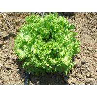 ФАНЛИ (5000шт) - салат листовой, Syngenta