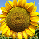 Насіння соняшника Пегас (Pegas) під євролайтинг Преміум, фото 2