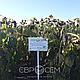 Насіння соняшника Пегас (Pegas) під євролайтинг Преміум, фото 5