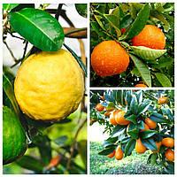 Лимон Киевский крупноплодный с прививкой апельсин и кумкват (80-120см)