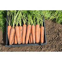 Насіння моркви Нарбоне F1 (100 000шт) Bejo (1,8-2,0мм)