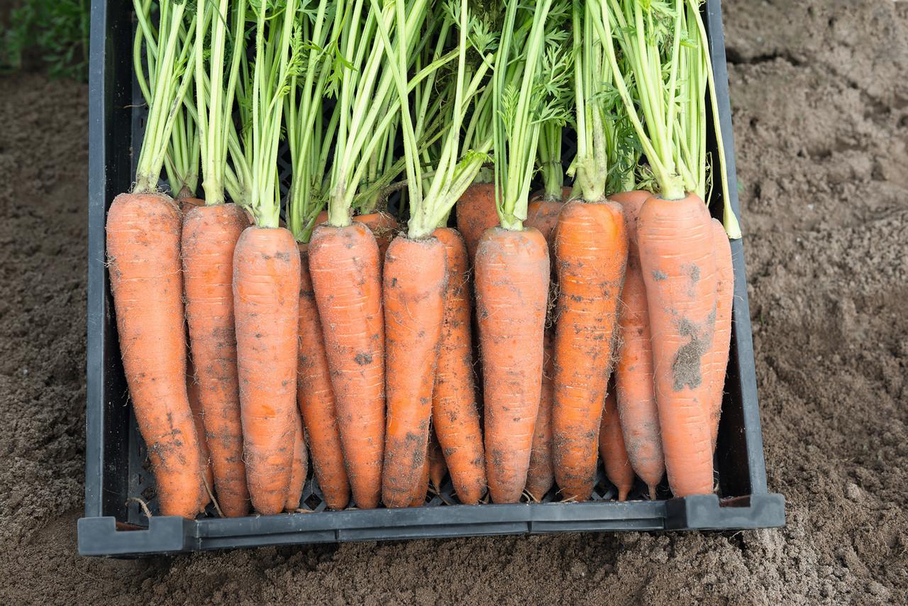 Насіння моркви Камаран F1 (100 000шт) Bejo (2,0-2,2мм)