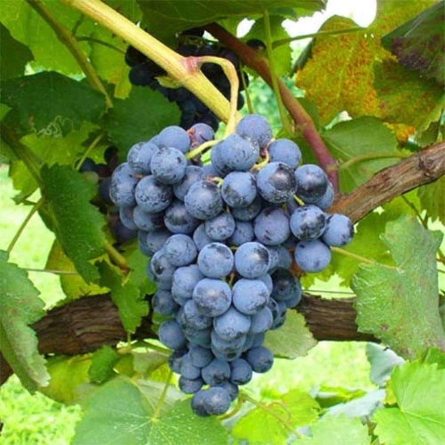 Саджанці Винограду Муза - середнього терміну, урожайний, морозостійкий