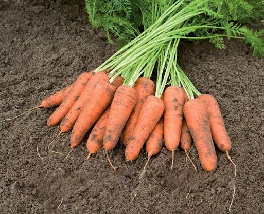Каріні (500г) - Насіння моркви, Bejo