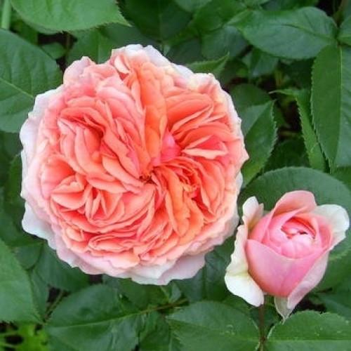 Саженцы чайно-гибридной розы Александрин (Rose Alexandrine)