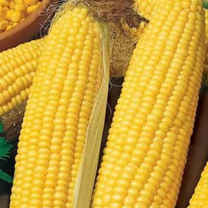 Кукуруза сахарная Фаворит