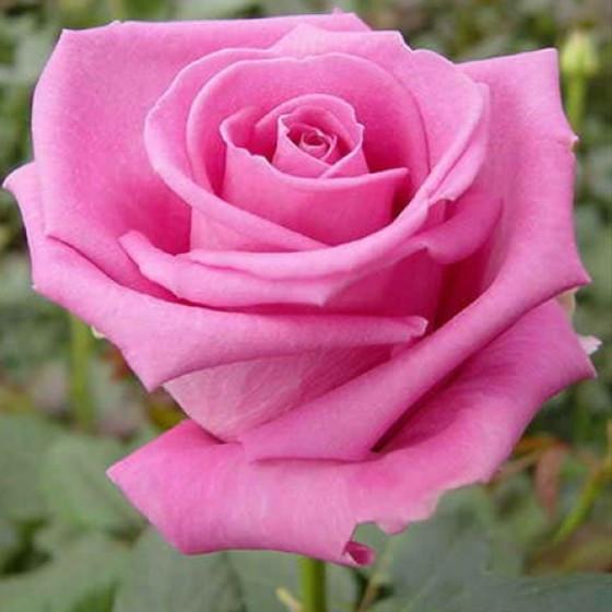 Саженцы розы чайно-гибридной  Аква (Rose Aqua)