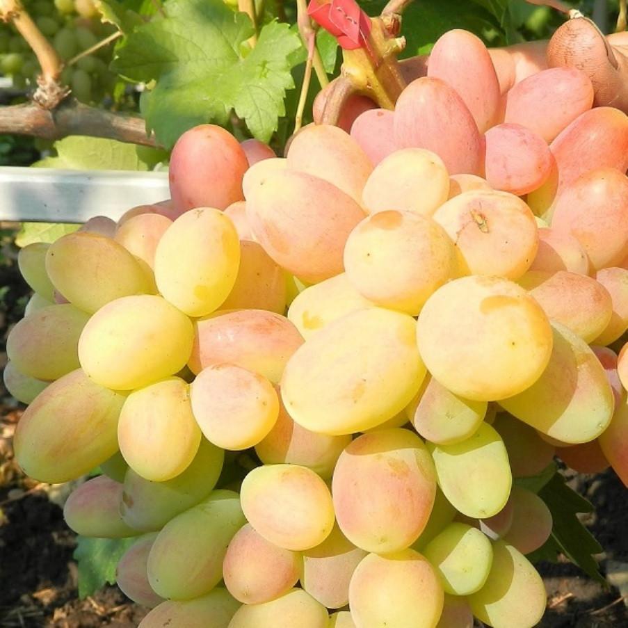Саджанці Винограду Ух-ти (Шамаханська цариця) - раннього терміну, великоплідний, морозостійкий