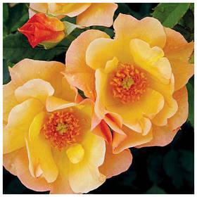 Саженцы канадских роз