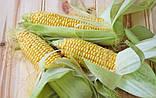 Деликатесная 100 грамм семена кукурузы сахарной ТМ Традиция Украина, фото 2