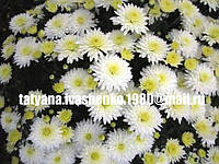 Хризантема шарообразная
