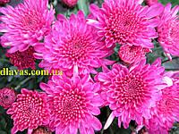 Хризантема куст мультифлора  РАННЯЯ розовая