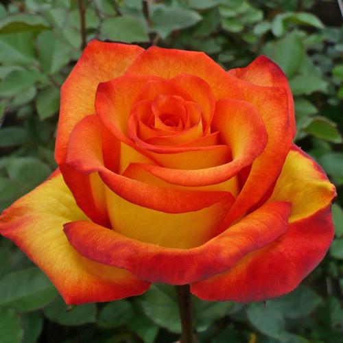 Саджанці чайно-гібридної троянди Хай енд Оранж Меджік (Rose High & Orange Magic)