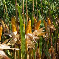 Насіння кукурудзи MAS 20.A від MAS Seeds