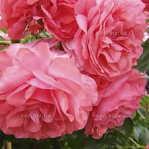 Роза штамбовая 'Розарий Уэтерсена', st 120см, голый корень