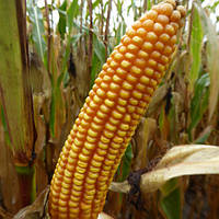 Насіння кукурудзи MAS 15.T від MAS Seeds