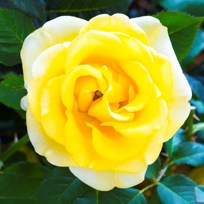 Саженцы розы чайно-гибридной Холидей Исланд Мальта (Rose Holiday Island Malta)