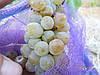 Саженцы  винограда  сорта  Бианка