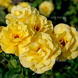 Роза штамбовая 'Фрезия', st 120см, голый корень