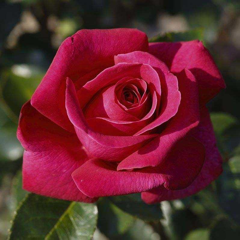 Саженцы розы чайно-гибридной Хот Леди (Rose Hot Lady)