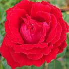 Саджанці чайно-гібридної троянди Марсельєза (Rose La Marseillaise), фото 2
