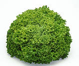 Локарно 30 шт семена салата Лолло Бионда Rijk Zwaan Голландия, фото 2