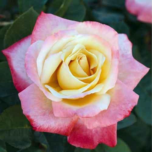 Саженцы розы чайно-гибридной Летиция Каста (Rose Laetitia Casta)