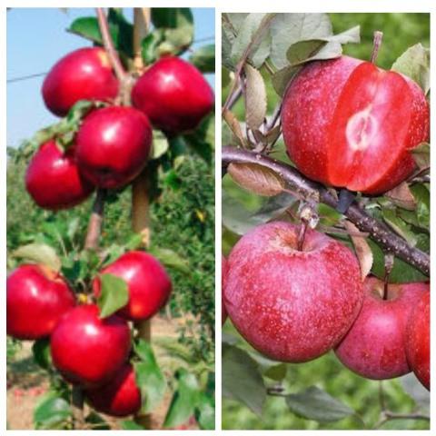 Яблуня дерево сад ( Трініті + Ера)