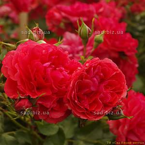 Роза штамбовая 'Радость Гартнера', st 120см, голый корень