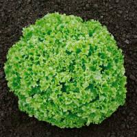 ОНИКС (5000драже) - салат листовой, Nunhems
