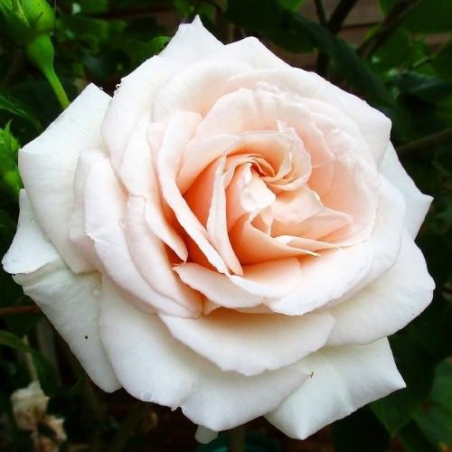 Саженцы чайно-гибридной розы Пенни Лайн (Rose Penny Lane)