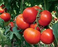Уманья F1 (100шт) - Насіння томату напівдетермінантного, Rijk Zwaan