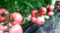 Насіння томату Мануса F1 (100шт) Rijk Zwaan