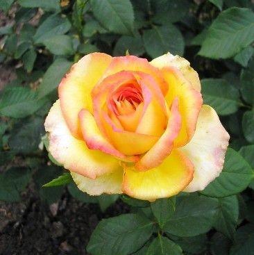 Саджанці чайно-гібридної троянди Висхідне Сонце (Rose Risinq Sun)