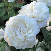 Троянда англійська Вінчестер Кафедрал