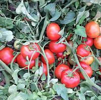 АЙВАЗ F1 - семена томата, Enza Zaden 500 семян