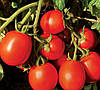 ФОРСАЖ F1  - семена томата детерминантного, CLAUSE 5 000 семян