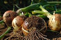 УТРЕРО F1 / UTRERO F1 - лук репчатый, Nunhems 100 000 семян